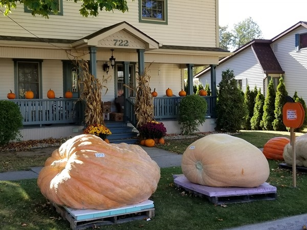 Giant Pumpkins awaiting carving