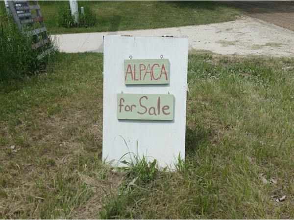 Only in Howell would you find Alpaca's for sale