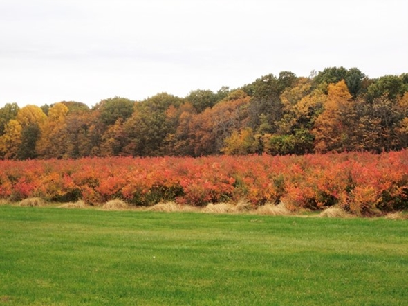 Great Fall Color On The Blueberry Bushes At Degrandchamp