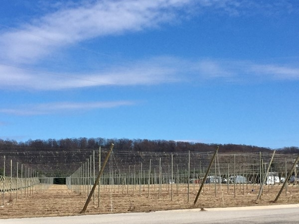 Getting ready for the hops growing season at the Empire Hop Farm