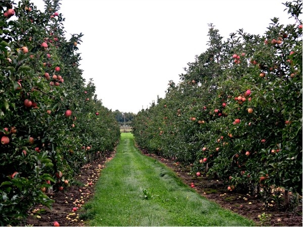 West Michigan has some of the largest apple orchards around