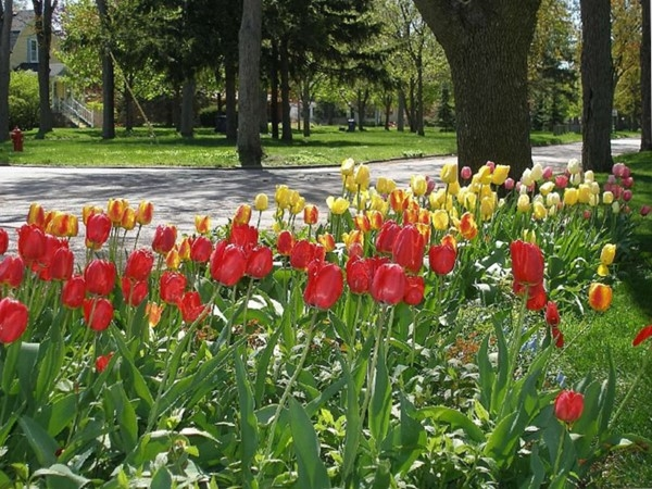 Tulips on the Boulevard