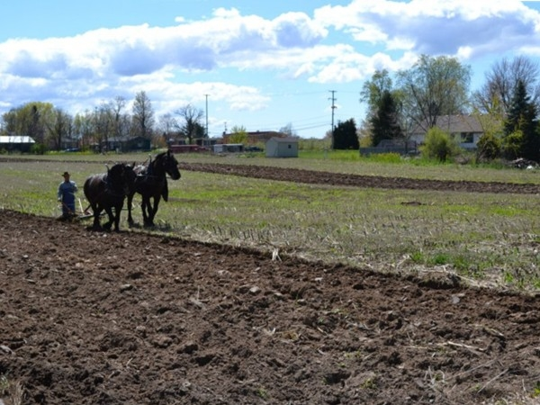 Annual Plow Days event - Watch how they used to plow the fields before tractors were available