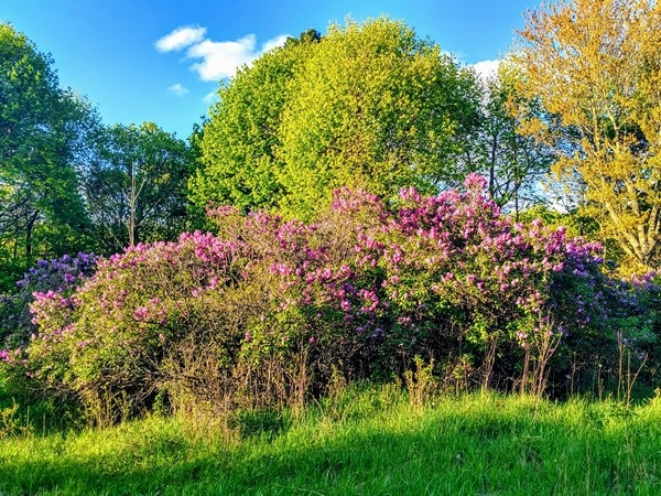 Ortonville Recreation Lilacs galore! Tons of trails and lakes. A great place to enjoy nature
