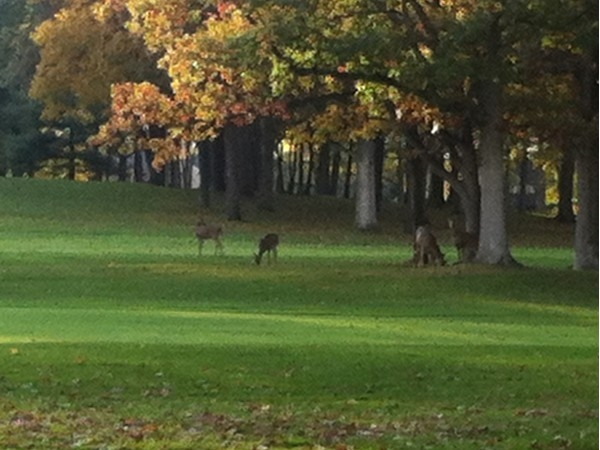 A family of deer located on Warwick Hills Golf Course