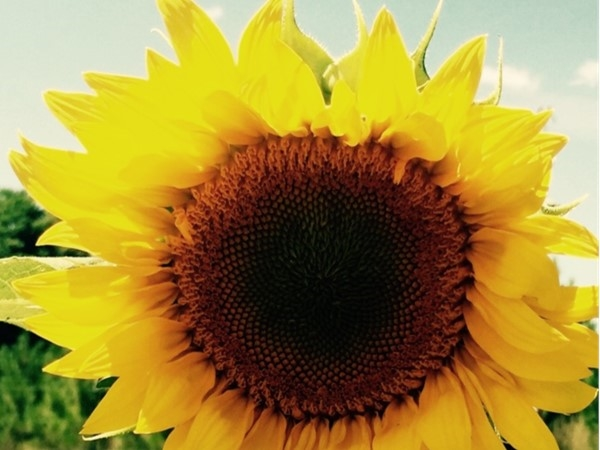 Love this beautiful Kingsley sunflower. There's plenty of space to grow in Kingsley