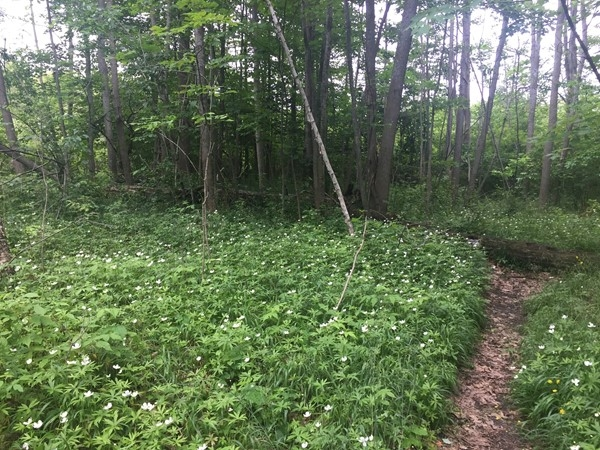 A carpet of wildflowers along the trail at Otter Creek in Sleeping Bear Dunes National Lakeshore