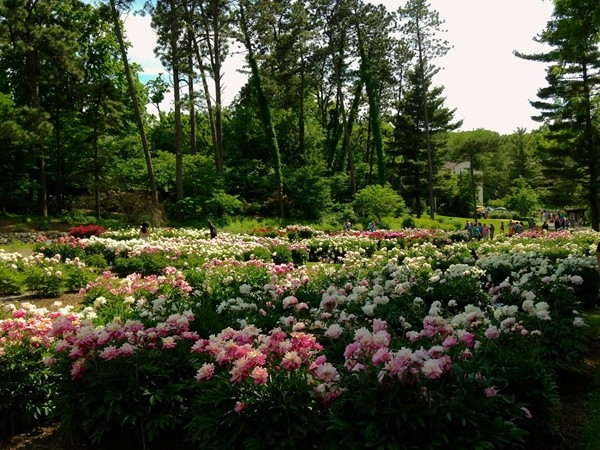 The largest public collection of peonies in North America