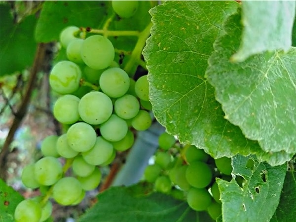 Clio Country, great climate for grapes