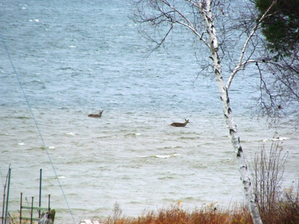The wildlife is incredible along the White Lake shoreline.  Deer enjoying a swim in White Lake.