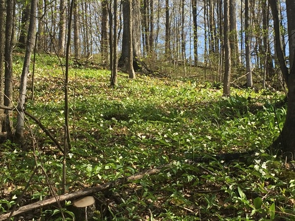Ride the Leelanau Trail to find this hill of trillium and other wild flowers