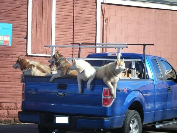 Sled dogs on their summer break
