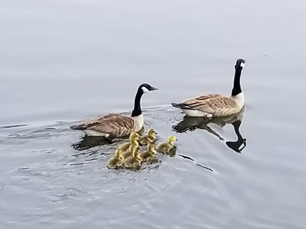 Proud Betsie Lake parents with their goslings