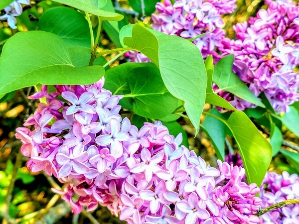 Lilacs galore in Ortonville Recreation Area