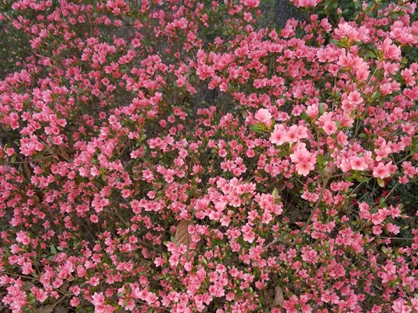 Check out this beautiful color of Azalea blooms in Spiro