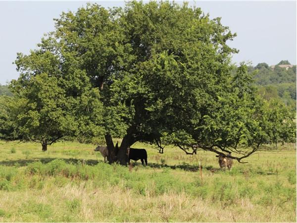 Huge Oak tree shading the cattle - Southeastern LeFlore County, Oklahoma