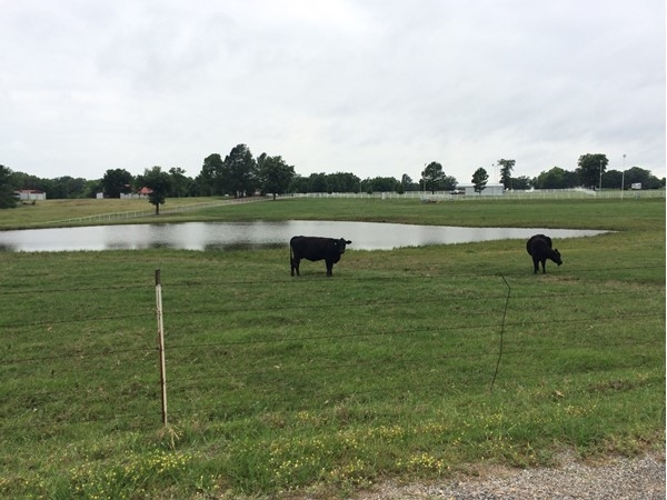 Atoka County cattle enjoying new green grass of spring