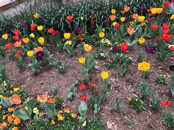 Our Myriad Gardens knows how to dazzle. Tulip fever!