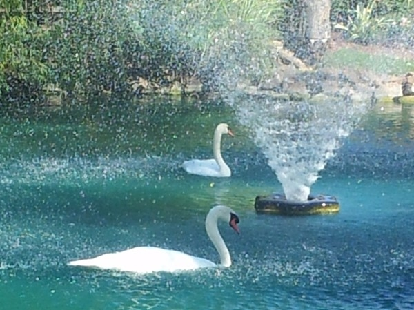 Pair of swans on Willow Lake