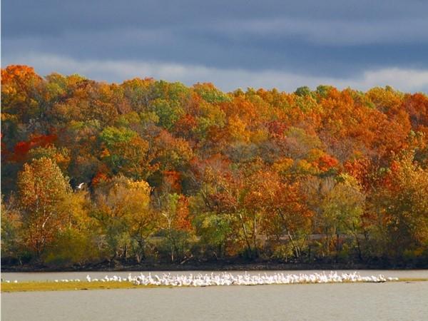 Migrating pelicans at Grand Lake