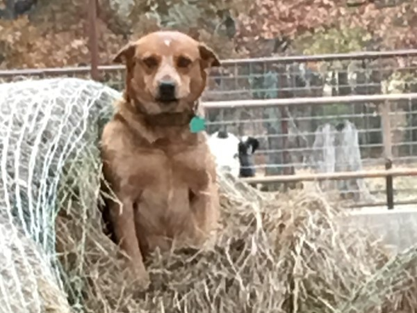 Red heeler making use of a torn up hay bale.  Nowhere but LeFlore County, Oklahoma