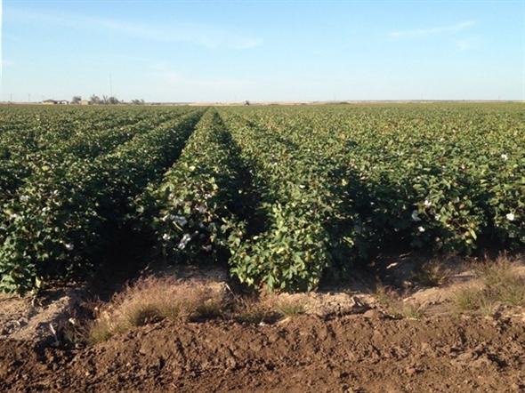 Healthy looking cotton crop