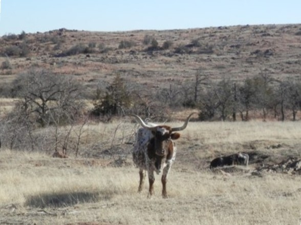 Longhorn, buffalo, elk, deer and many other wild creatures roam wild on the federally protected land