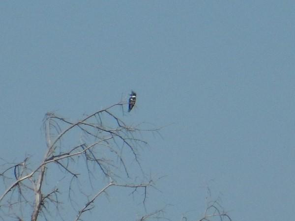 Kingfisher fishing from his perch at Clinton Lake