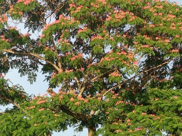 Blooming mimosa tree