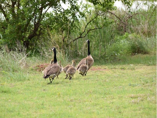 Geese and Goslings meander around Dead Warrior Lake north of Cheyenne