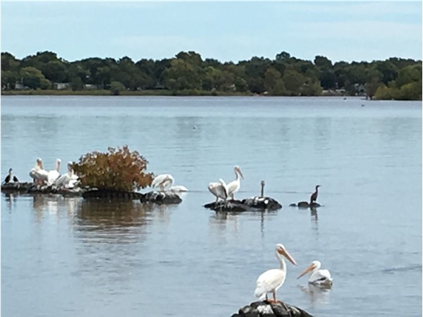 The majestic pelicans are on Grand Lake just in time for the Pelican Fest