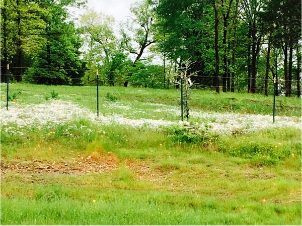 White wildflowers are among many of Southeastern Oklahoma's attractions after bountiful spring rains