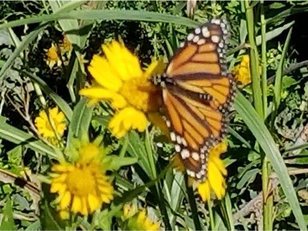 Beautiful Monarch Butterflies migrating through Roger Mills County in the fall