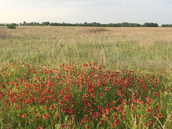 Indian Blanket Flowers on tribal land just outside of Hammon