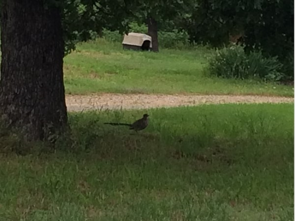 The roadrunner still resides in Atoka County