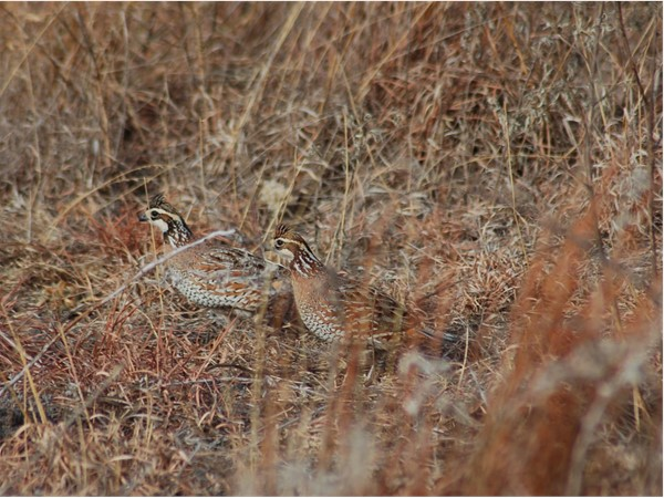 The bobwhite quail thrive in the grasslands of Roger Mills County