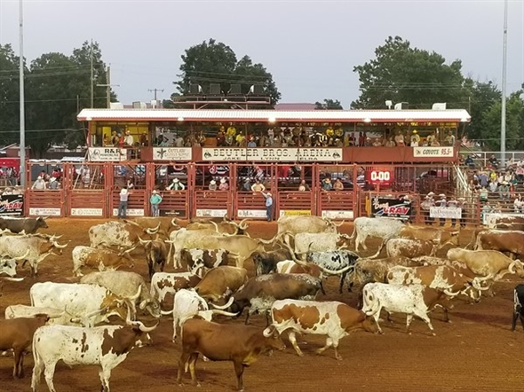 Longhorns at the Elk City Rodeo Of Champions