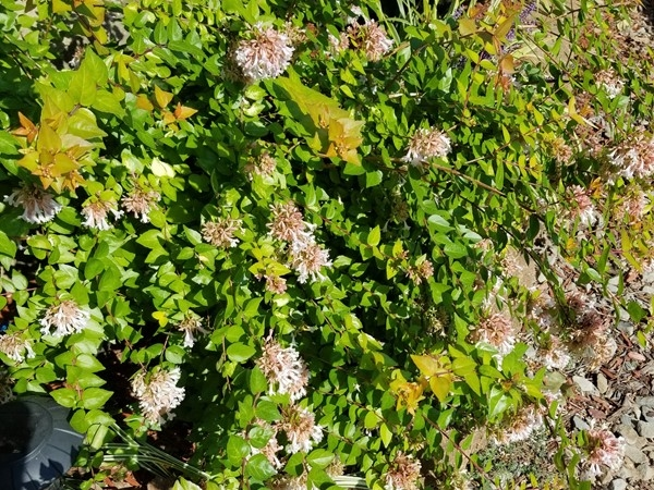 Abelia in full bloom at the Lake House in Haskell County in Southeast Oklahoma