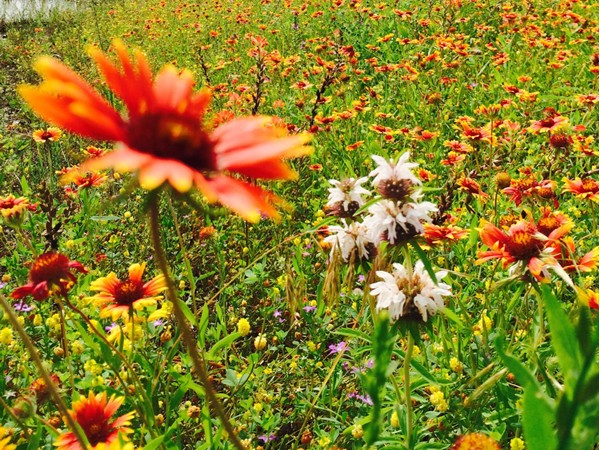 Oklahoma's state flower, the Indian Blanket, gorgeous in Johnston County