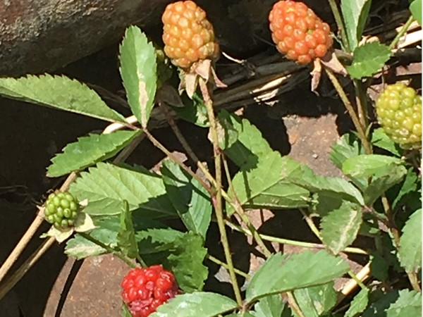Wild blackberries in the making