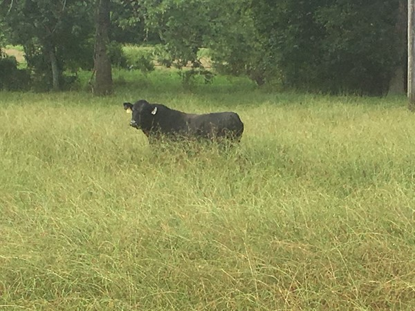 This much grass in August is totally okay with this Black Angus Bull