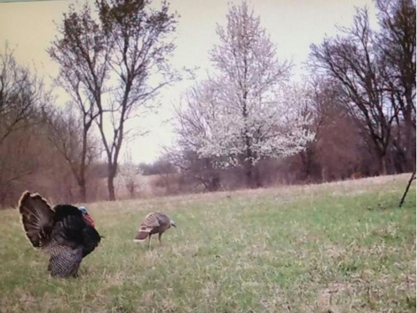 Turkey roaming on property sold to our clients in Nowata County
