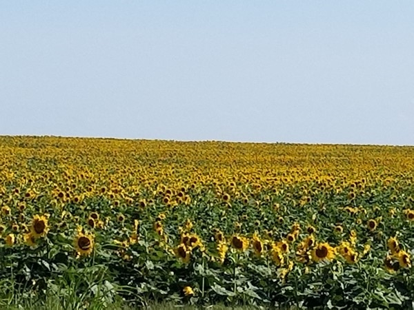 What a beautiful sight, sunflowers as far as you can see