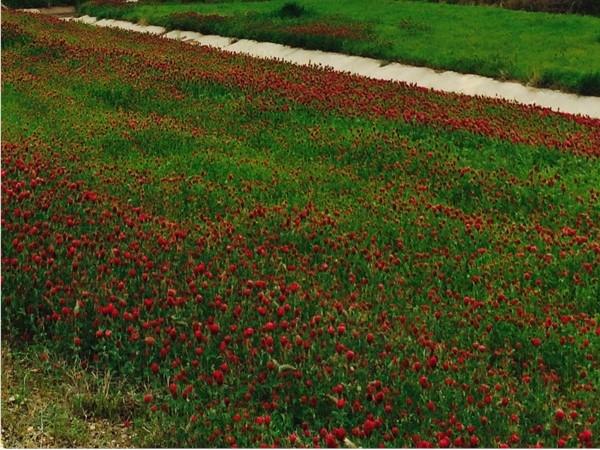Brilliant crimson clover along Pushmataha County highway after spring rains