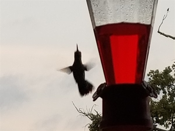 This little hummingbird was hitting the feeder this morning