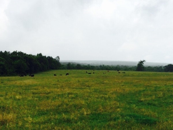 Cattle grazing in the peaceful mountains of McCurtain County