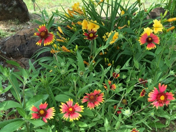 Oklahoma's Indian Blanket is blooming in Atoka County