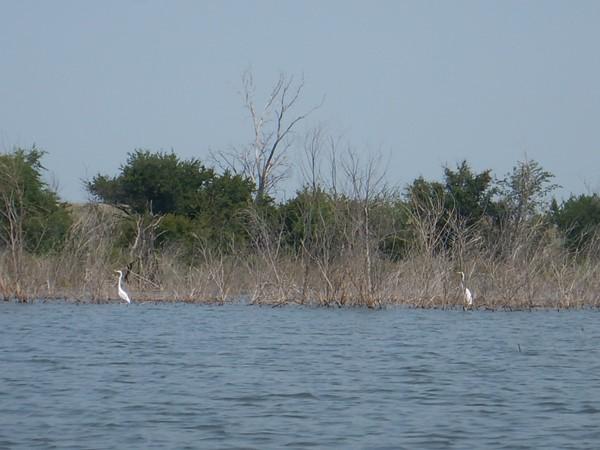 Egrets hanging out at Elk City Lake