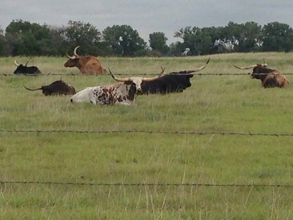 Oklahoma has longhorns too.