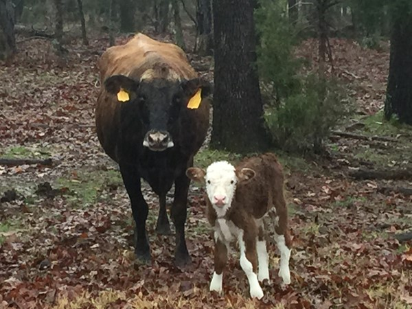 New baby this rainy morning on a cattle ranch in LeFlore County